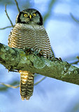Hawk Owl Portrait In Winter