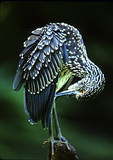 Juvenile Yellow-Crowned Night Heron Preening