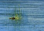 Western Grebe Nest At Bear River NWR