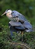 Great Blue Heron Fledgling Begging For Food