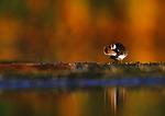Shorebird Preening At Dawn
