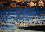 Brant Geese At Low Tide