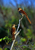 Mated Pair Of Brown Thrashers In Early Morning