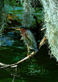 Green Backed Heron And Spanish Moss