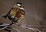 W/hite-Throated Sparrow Portrait