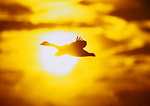 Goose Flying Past Sun