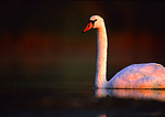 Mute Swan At First Light