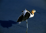 American Avocet Wing Stretch