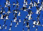 Skimmer Flock In Blue Sky