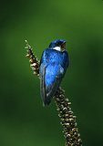 Yawning Tree Swallow On Common Mullein