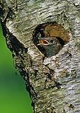 House Wren Fledgling In Nest Hole