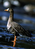White Fronted Goose On Ice