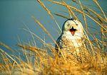 Snowy Owl Yawning In Dunes