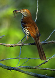Brown Thrasher With Worms