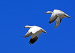 Adult And Juvenile Snow Geese In Flight