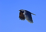 Fish Crow In Flight