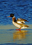 Red Breasted Merganser Displaying In Late Light
