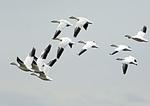 Snow Geese Flight Group