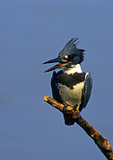 Belted Kingfisher Fishing from A Perch