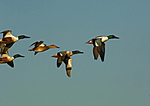 Northern Shoveler Flight Group In Late March