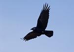 Fish Crow In Flight