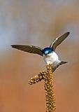 Tree Swallow Landing On Common Mullein
