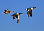 Northern Shoveler Drake, Juvenile and Hen Flight Group