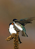 Tree swallow Interaction In Early Spring