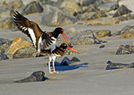 Mating American Oystercatchers