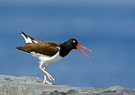 American Oystercatcher Calling To Mate