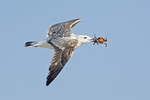 Juvenile Great Black Backed Gull Flying with Crab