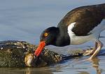 American Oystercatcher Prying Shell Off Horseshoe Crab