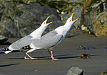 Herring Gull Pair In Food-Courtship Behavior With Crab