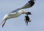 Herring Gull Ready To Drop Crab