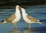 Herring Gull Courtship Behavior
