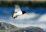 Oystercatcher Landing On Jetty