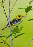 Black-Throated Green Warbler Sings In Spring