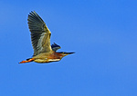 Breeding Green Backed Heron In Flight