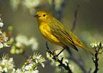 Yellow Warbler And Beach Plum