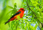 Scarlet Tanager In Spring Woods