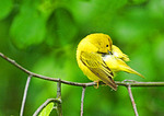 Yellow Warbler Preening After Rain