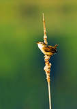 Marsh Wren Singing In Spring-Greened Marsh