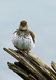 Spotted Sandpiper Fluffing-Up Feathers