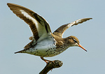 Spotted Sandpiper With Raised Wings