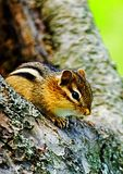 Eastern Chipmunk In Tree Cavity