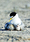 Least Tern Protecting Her Chicks