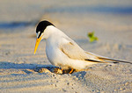 Least Tern And Eggs At First Light