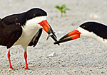 Black Skimmer Courtship Ritual With Fish