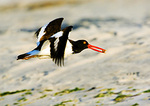 American Oystercatcher In Flight With Snail