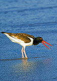 American Oystercatcher About To Swallow Snail